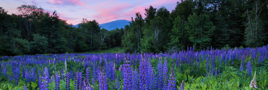 lupines920x310